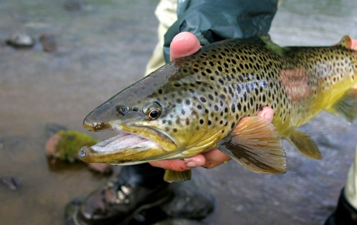 Brown trout - Day tours